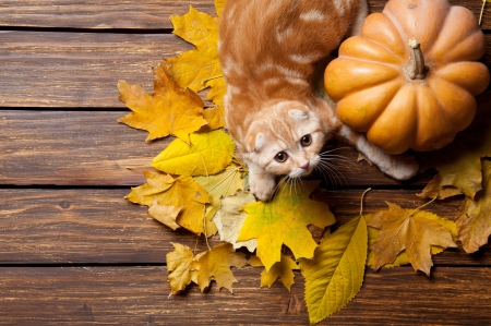 Thanksgiving kitty - fall, autumn, holiday, november, kitty, adorable, cat, thanksgiving, sweet, cute, leaves, pumpkin, funny, kitten