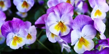 Purple and white pansies fc flowers nature background wallpapers purple and white pansies fc beauty love flower romance floral mightylinksfo