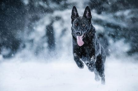German Shepherd Dogs Animals Background Wallpapers On Desktop