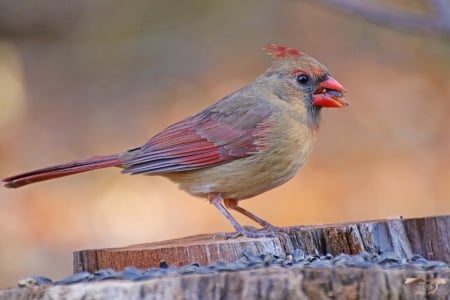 Momma Cardinal - nature, bollywood, entertainment, people