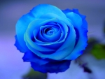 Lovely Blue Rose
