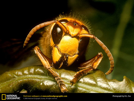 Hornet Wasp - guards, wasp, bug, sting, queen, insect, hornet