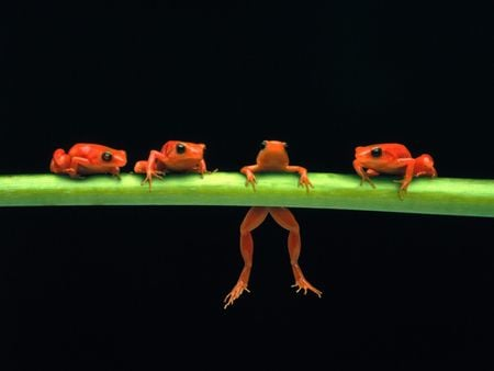 Frogs On A Branch - rainforest, tropical, frog, amphibion, red