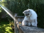 Puss. Silver Persian. The Fairy and the Sunbeam