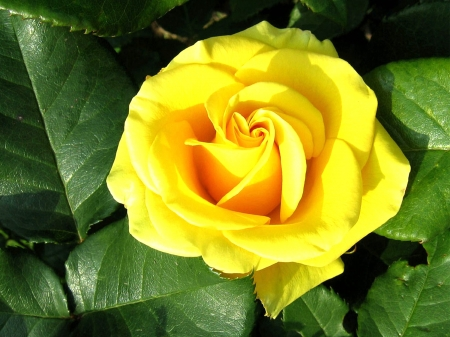 Bright Yellow Rose Flowers Amp Nature Background