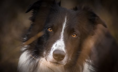 Border collie - malley, border collie, caine, black, john, white, dog