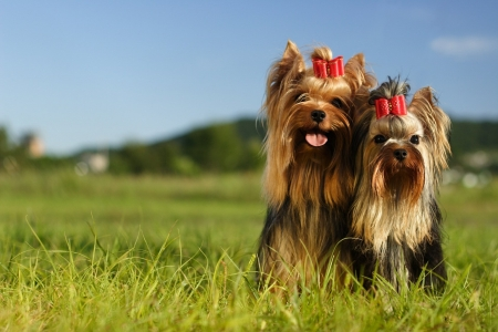 Yorkshire Terriers - red, grass, yorkshire terrier, caine, bow, animal, cute, green, couple, puppy, dog