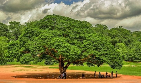 Giant Tree Fields Nature Background Wallpapers On