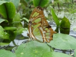 A malachite green butterfly