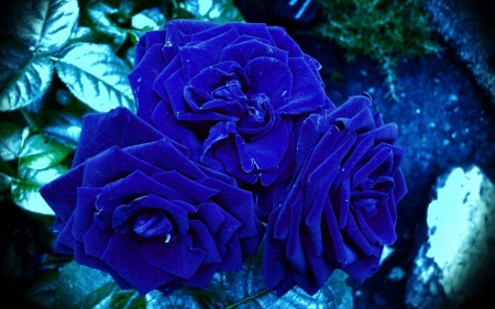 Awesome Blue Roses