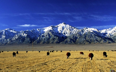 Cows with background - Mountains, Field, Blue sky, Cow