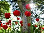 Sun Shining on the Red Tulips