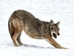 Wolf Stretching in the Snow