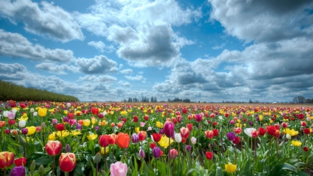 Tulips Field at Sunny Day - tulips, landscape, sky, flowers, clouds, field, nature