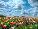 Tulips Field at Sunny Day