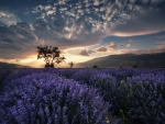 Lavender Field under Cloudy Sky
