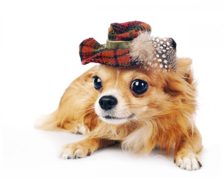 Cute puppy - chihuahua, feather, caine, funny, puppy, dog, animal, hat