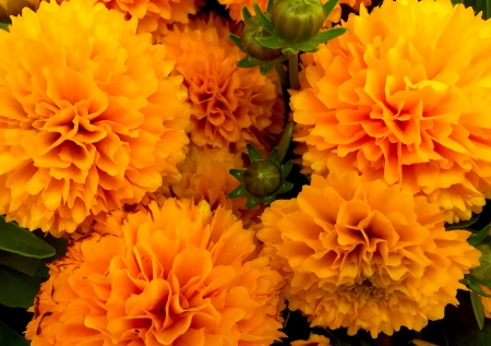 Dahlias - beautiful flowers, plants, flower, garden, dahlia