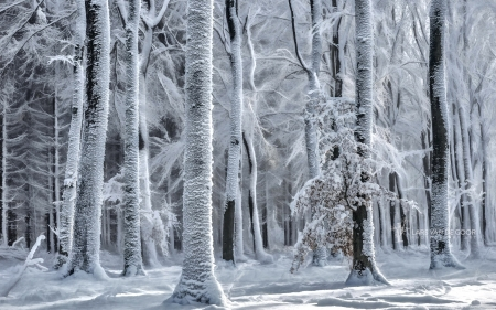 Cold is coming - come, forest, snow, ice, trees, winter, frost, cold