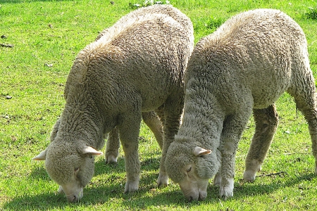 Feel the Wool - sheep, wool, pasture, lambs, farm animals