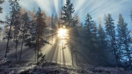 Sun Rays in the Forest - Winter, Forest, Nature, Sun