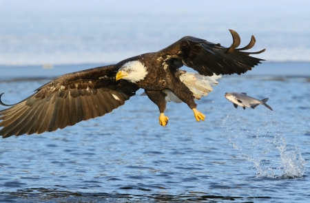 eagle fish birds \u0026 animals background wallpapers on desktop nexuseagle fish