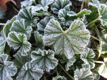 Frost Dusting - Leaves, Frost, Foliage, Winter