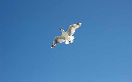 Seagull - seagull, wings, bird, sky