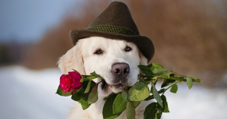 For you! - red, rose, caine, valentine, animal, winter, hat, cute, flower, funny, dog