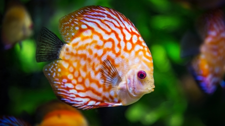 Fish - fish, orange, pink, green, summer, eye