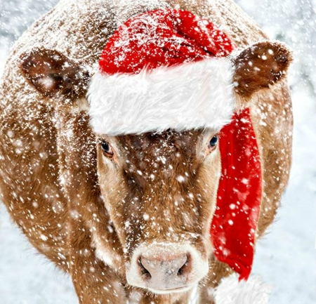 Moorry Christmas! - Cows & Animals Background Wallpapers on Desktop Nexus  (Image 2213251)