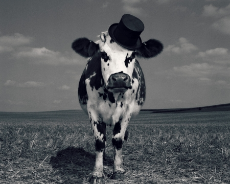 Fency cow - fency, cow, black, animal, hat, jean baptiste mondino, bw, vaca, white