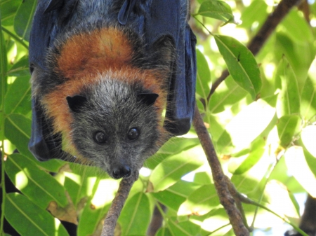 For Va - Canungra Queensland, trees, fruit bat, flying foxes, bat, precious, nature, native, Australia, animals