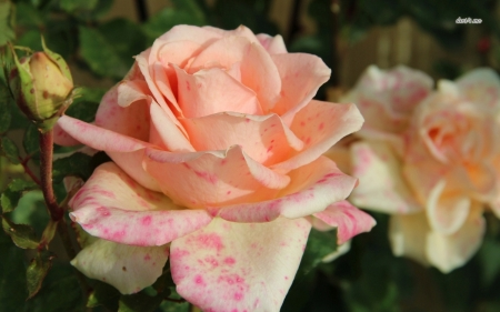 Pale Orange Roses with Pink Spots - orange, flowers, nature, petals, roses, pink