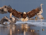 Bald Eagle and Great Blue Heron on the Beach