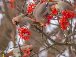 Lovely Waxwings