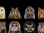 Different species of Owl