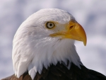 Bald Eagle Eye