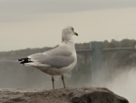 Seagull  at Niagara Falls