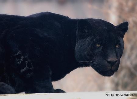 Black Jaguar Cats Animals Background Wallpapers On Desktop Nexus Image 2216793