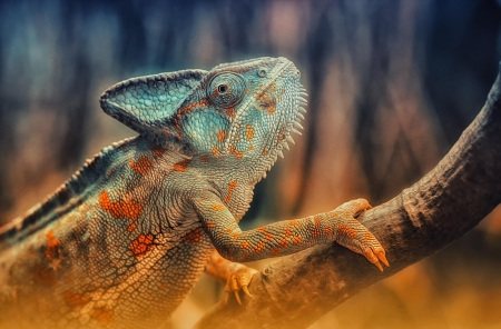 Chameleon - chameleon, orange, animal, blue, reptile