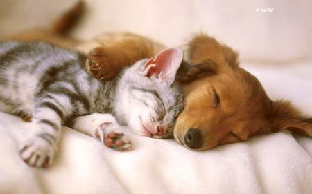 Kitten and Puppy Sleeping - cats, cat and puppies, kitten, puppy, cute, dogs, animals