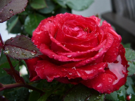 Droplets on Red Rose - leaves, rose, macro, flowers, dew, nature, drops, petals