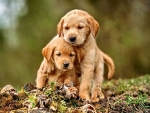 Golden Retriever Puppies F1