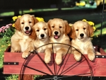 Four Golden Retriever Puppies F