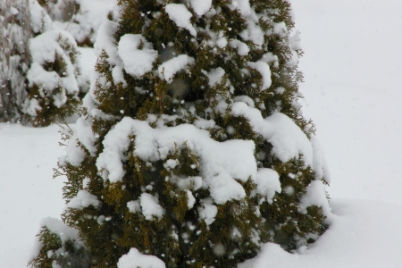 Snow fall on Junipers - Snow, Junipers, Winter, Landscape