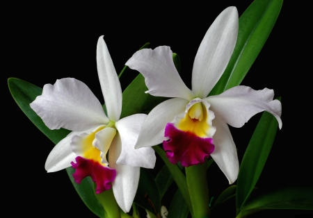 Orchid - flower, nature, white, orchid
