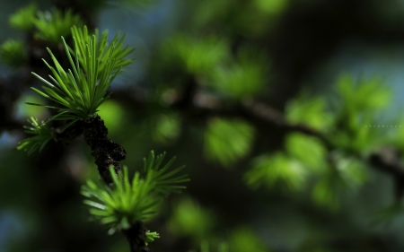 larch tree branch - forest, green, larch, larch branch