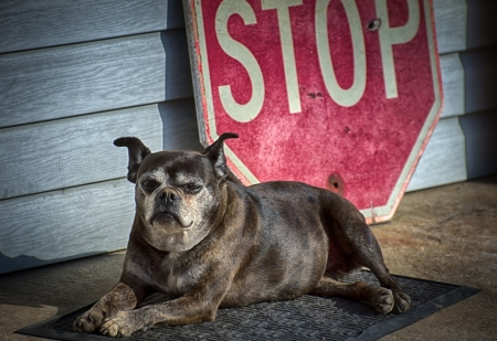 Cute Dog - sign, stop, animals, dog