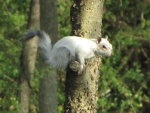 Bianca the White Squirrel perched on tree limb